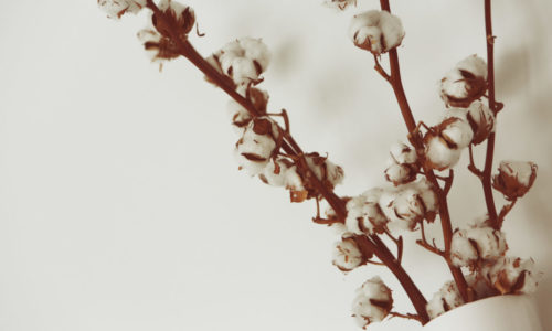 Baumwollpflanze in Vase auf weißem Hintergrund